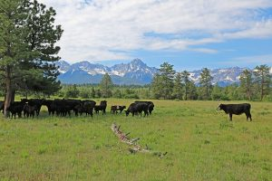 Cow Grazing on mountain property in Colorado