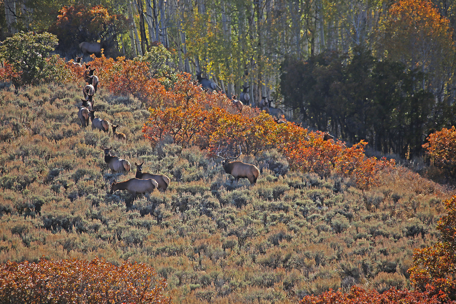 Elk Herd on Blue Creek Mesa Ranch