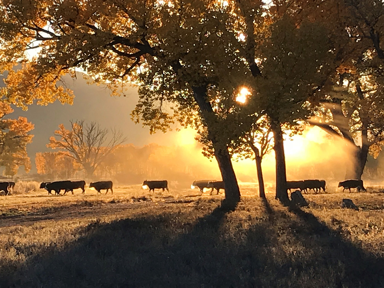 Sunrise in cow field