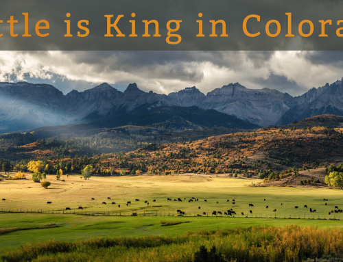 Cattle is King in Colorado