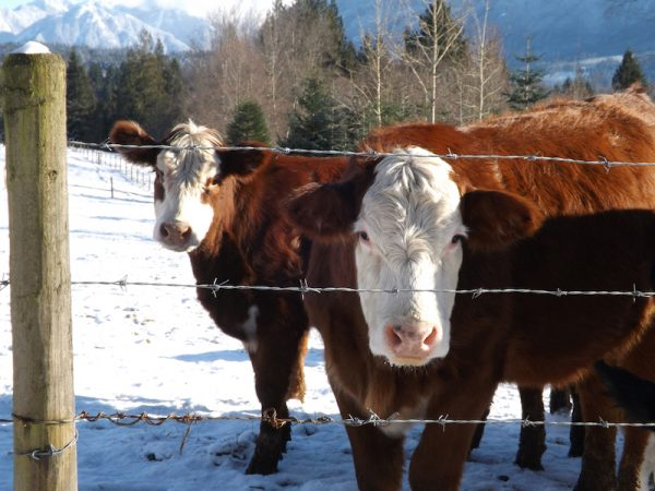 two Hereford cows in front of a mountain show that they are hardy cattle.