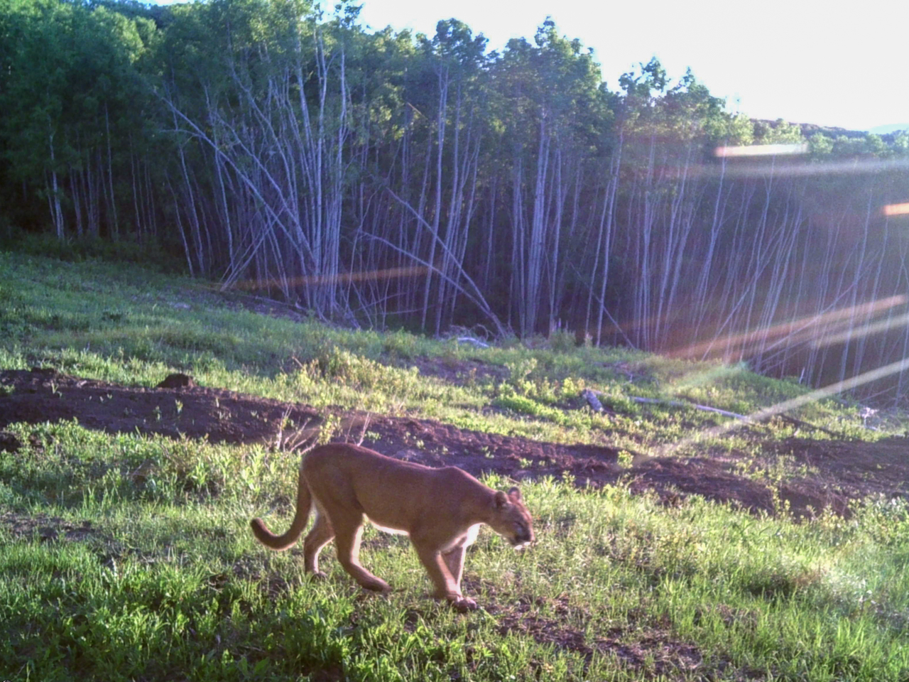 Mountain Lion in Montrose Real Estate for sale