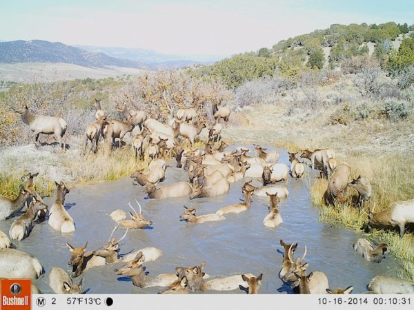 Elk herd swimming in water on Western Colorado Ranch Property
