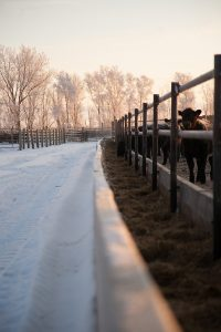cow ranch in winter